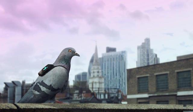 Piccioni in volo su Londra per monitorare lo smog
