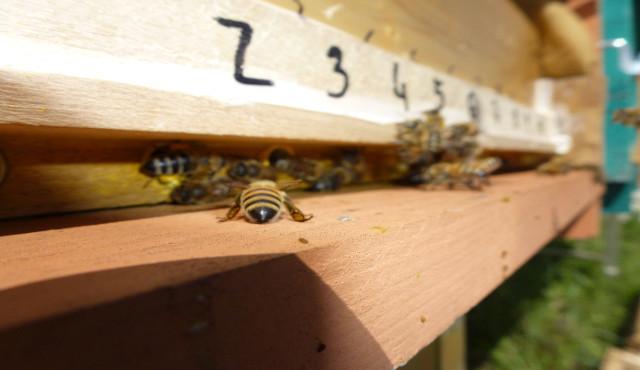 Moria di api: uno studio dell'Università di Trento