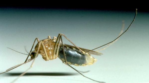 Sorveglianza e controllo delle zanzare autoctone e invasive: il Manuale dell'Oms