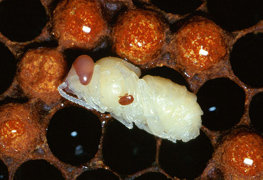 Sconfiggere l'acaro-killer delle api con il plasma freddo