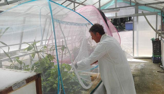 ENEA: nuovo metodo biotecnologico contro la zanzara tigre