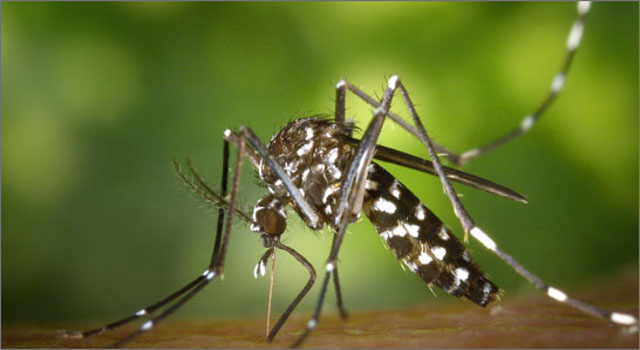 """Wolbachia e  il """"maschio incompatibile"""" per il controllo di Aedes albopictus"""